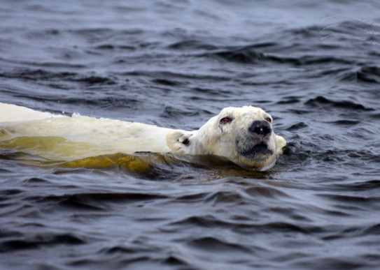 big-polar-bear-swimming